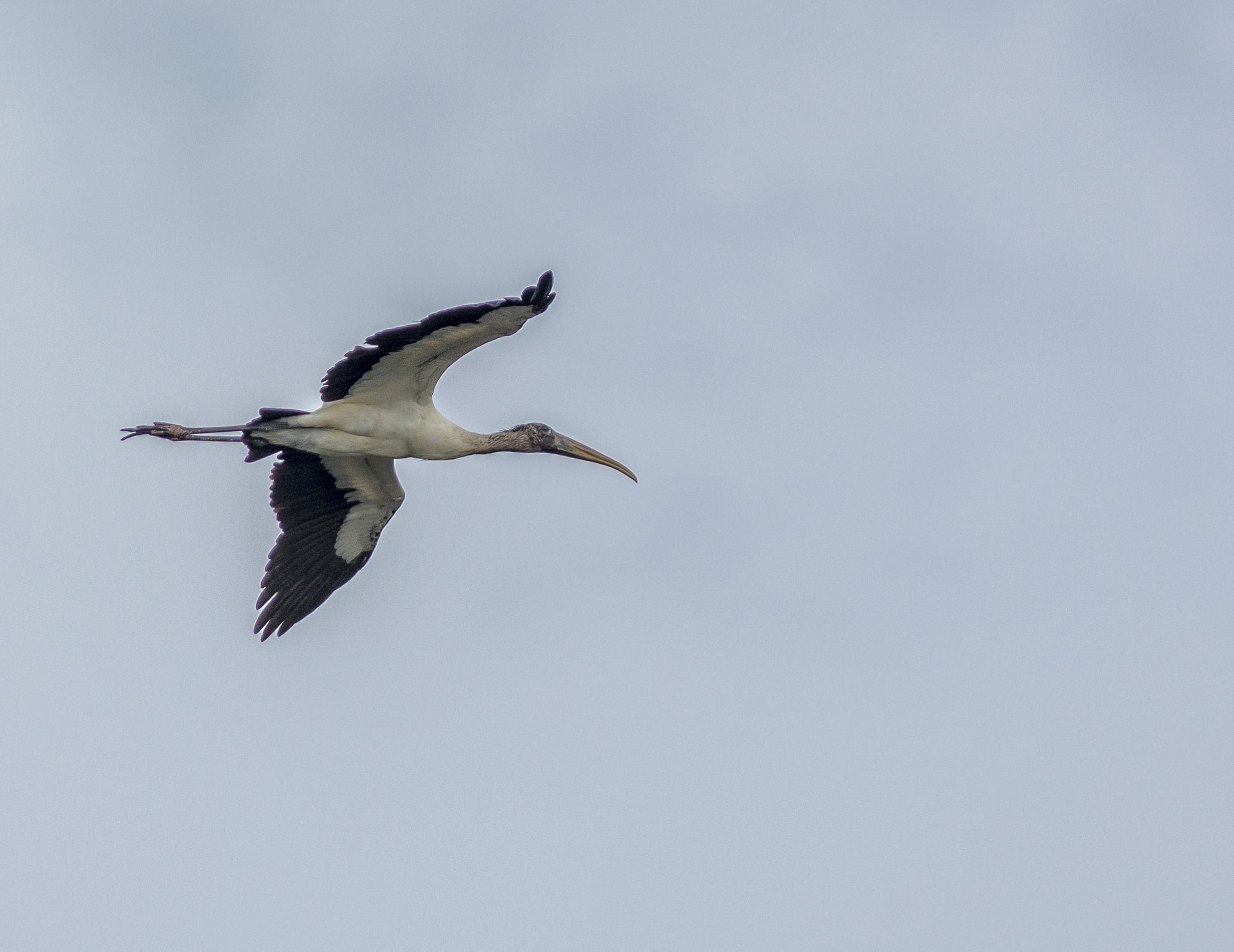 Amerikansk ibisstork