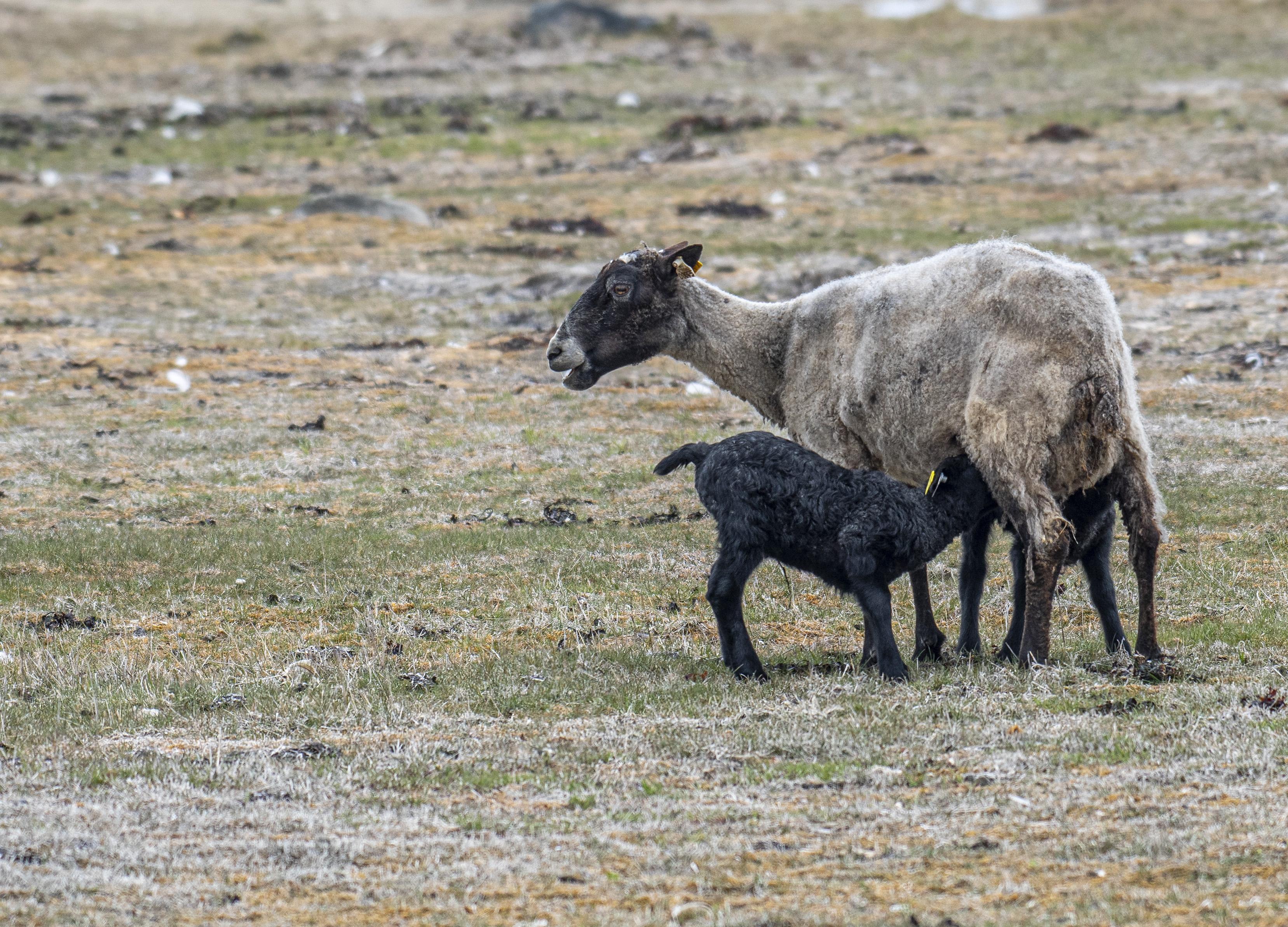 Lamm och lammunge