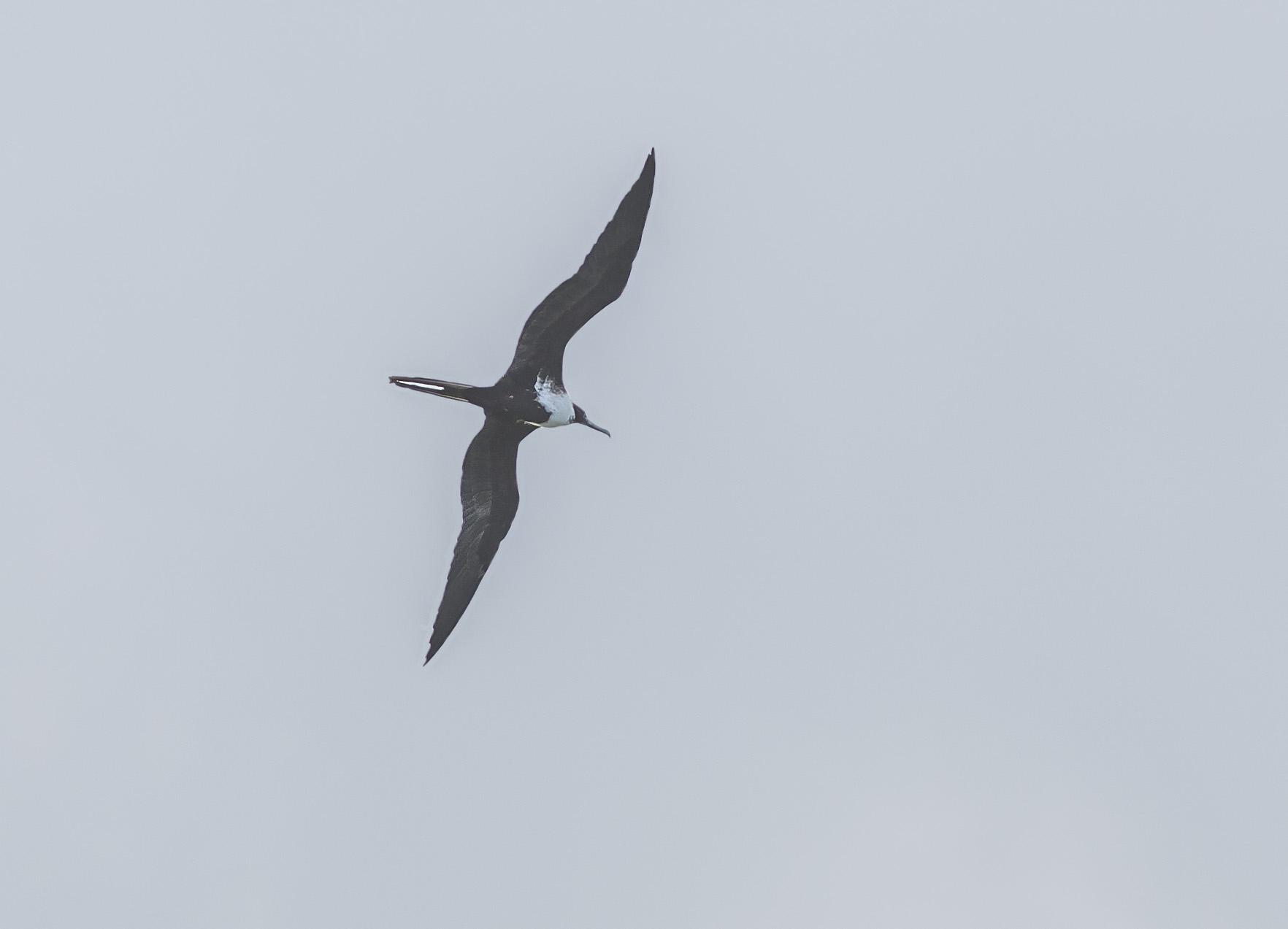Större fregattfågel, juvenil