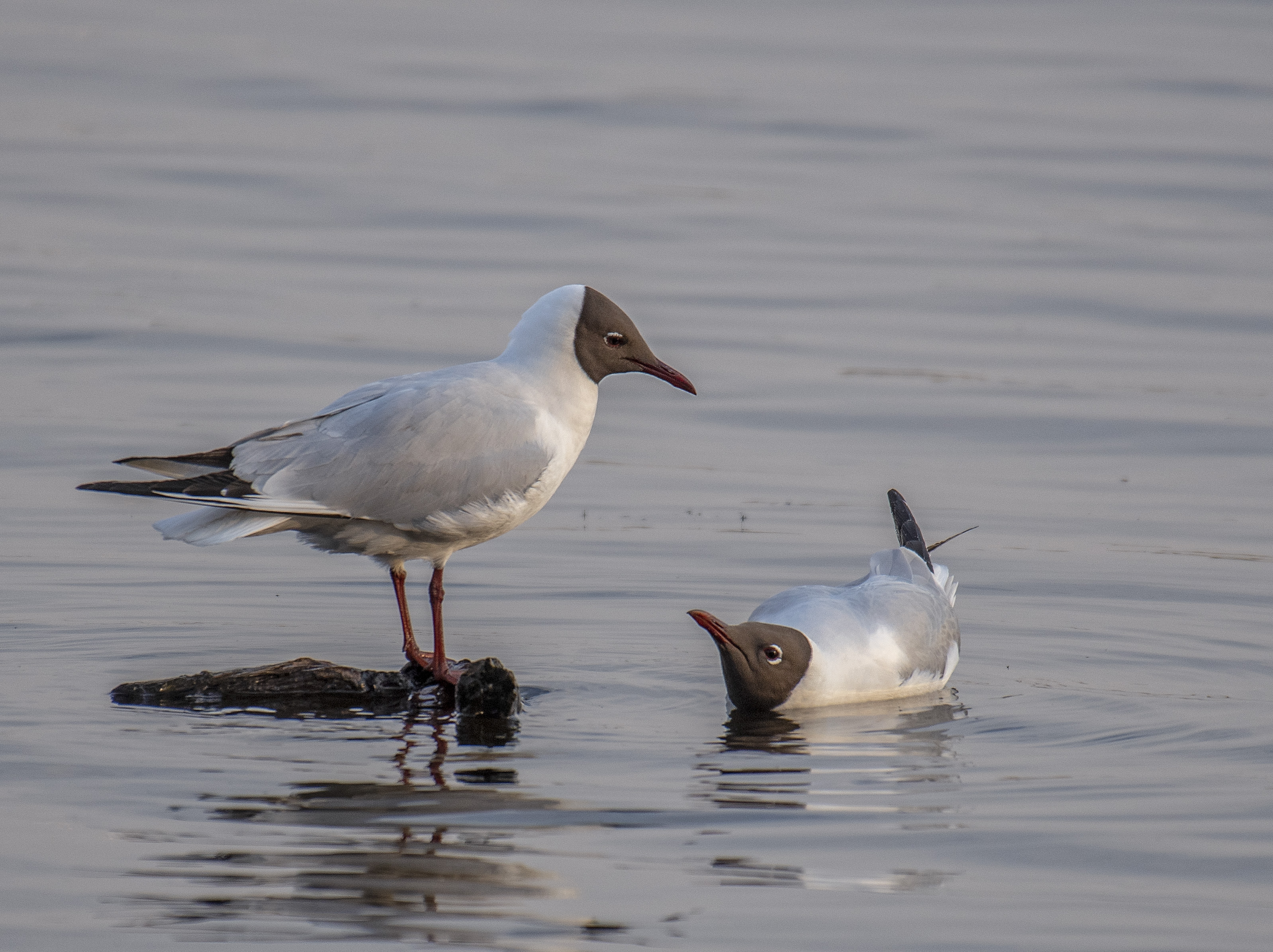Skrattmås/Black-headed Gull