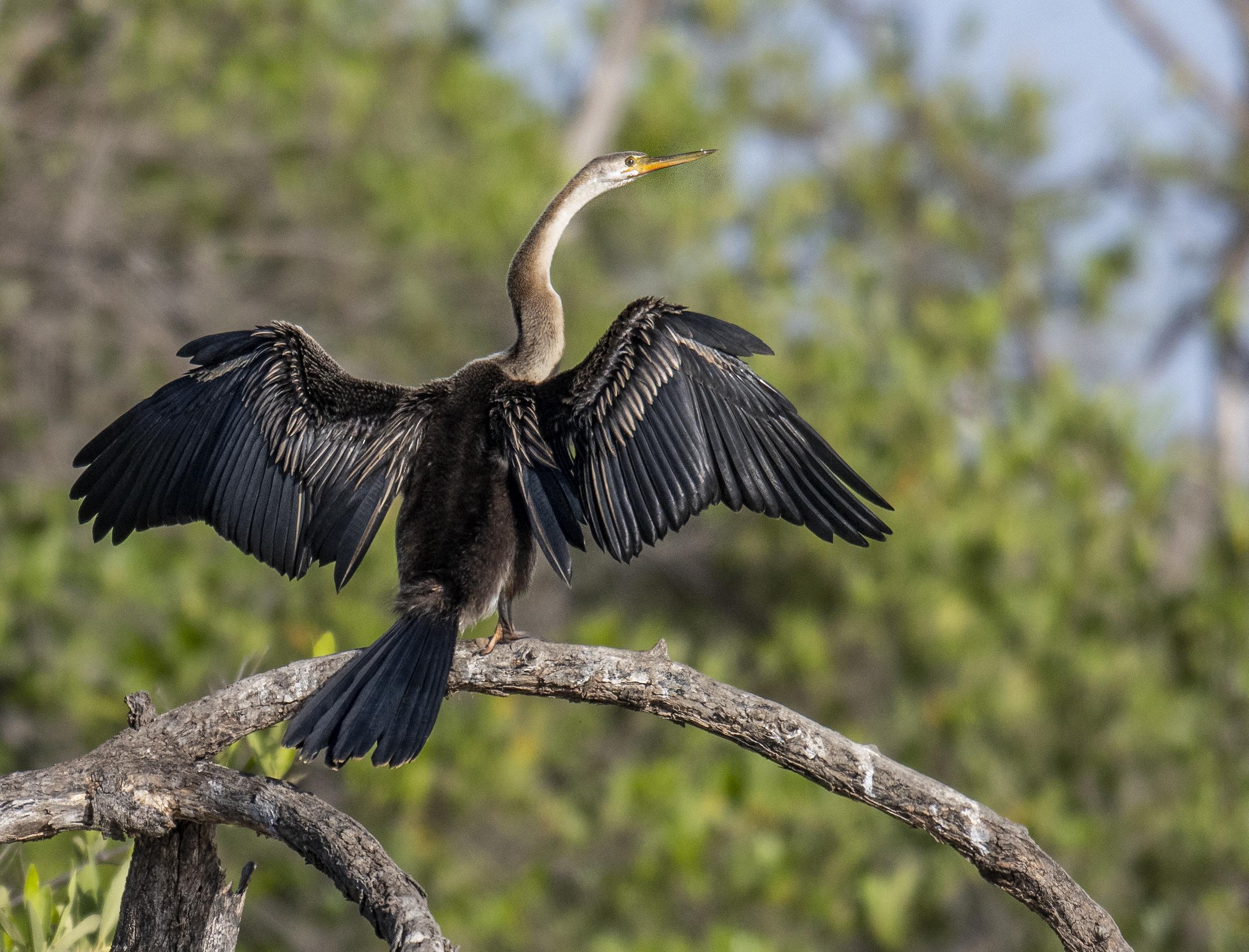 Afrikansk ormhalsfågel