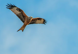 glador, kites