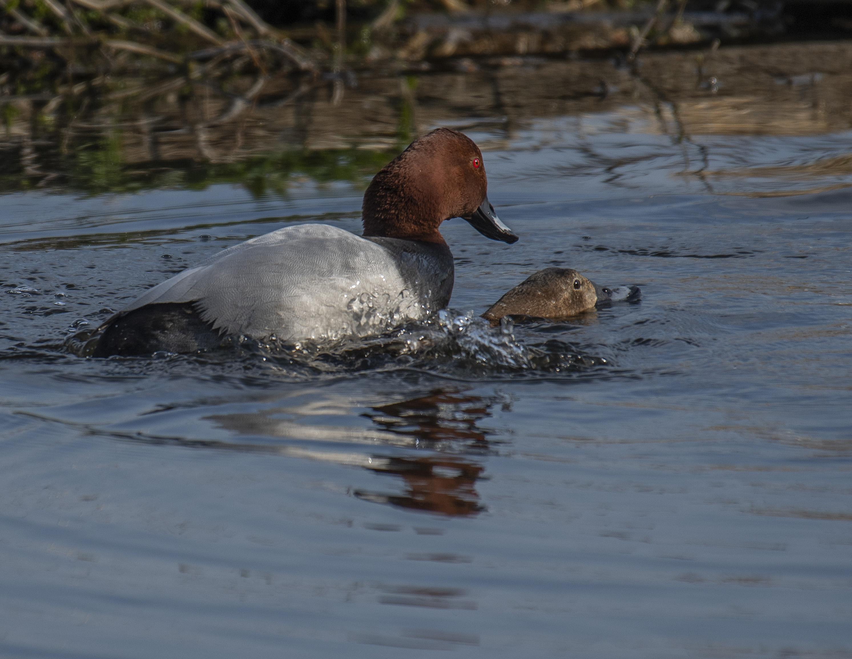 Brunand/Common Pochard