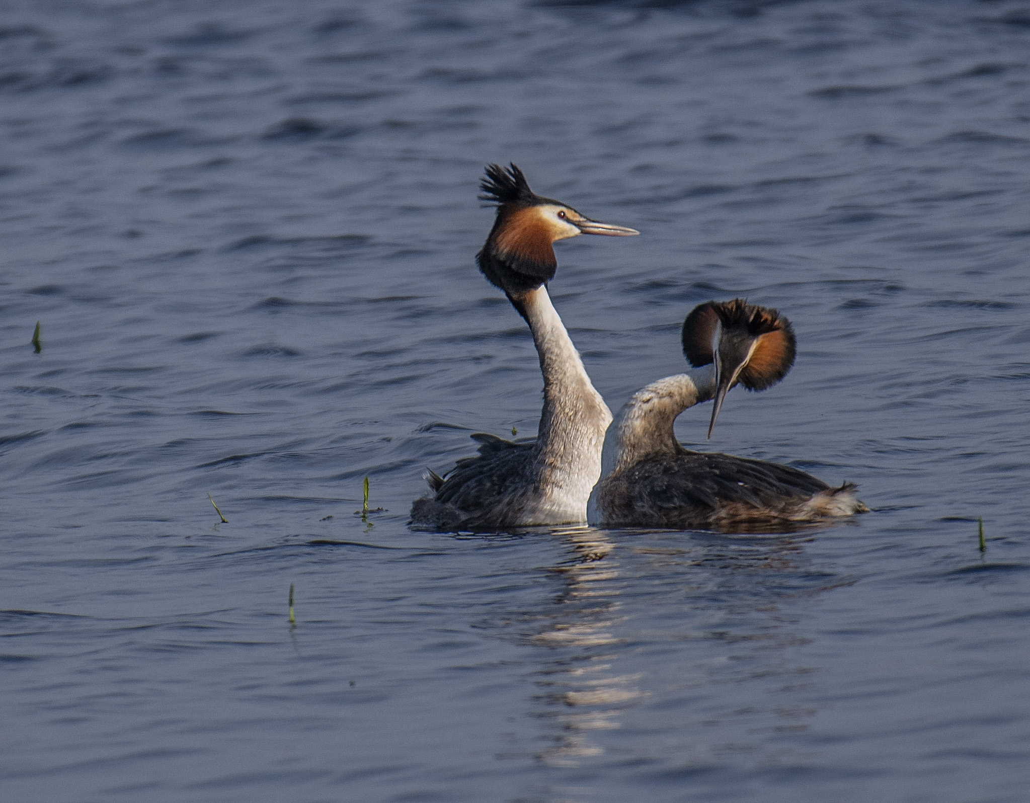 Skäggdopping/Great Crested Grebe