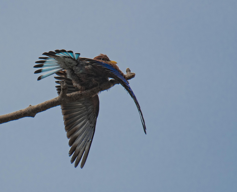 Gulnäbbad blåkråka