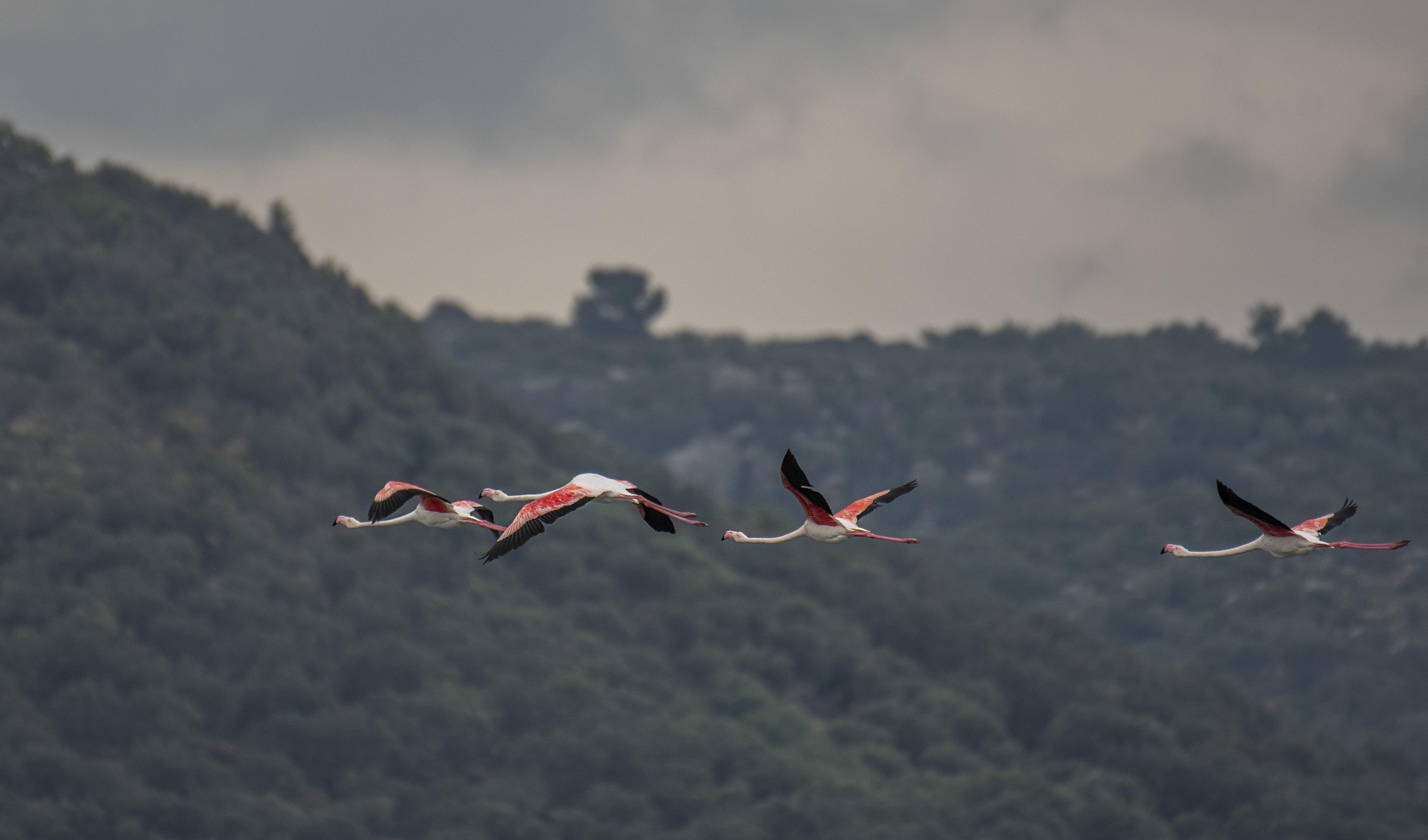 Större flamingo