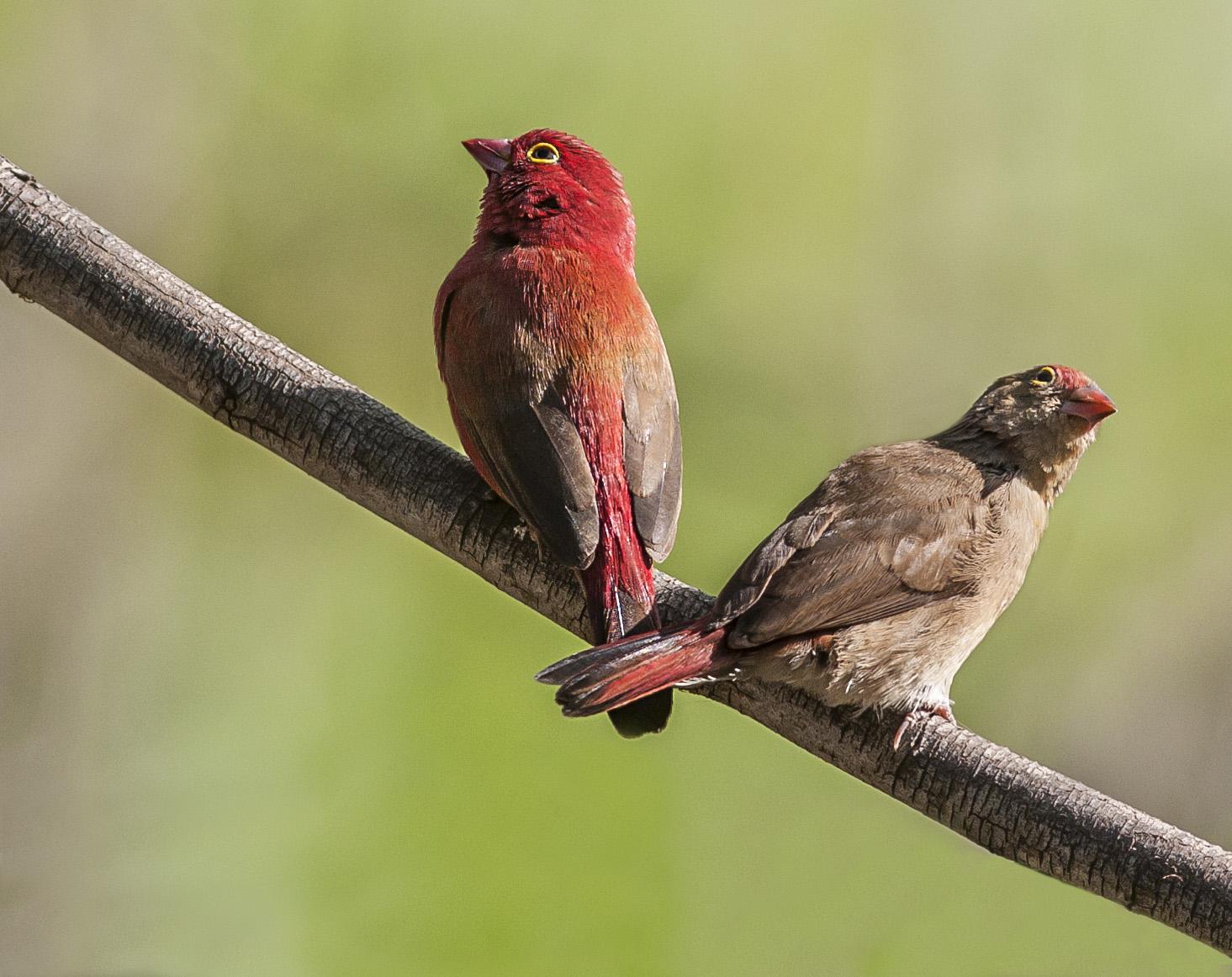 Rödnäbbad amarant, hanne & hona