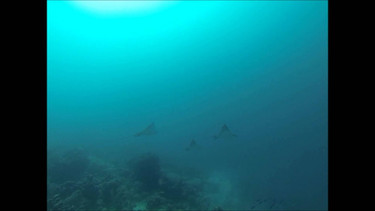 3 spotted eagle rays in Aruba