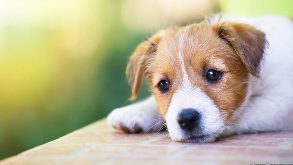Sad brown and white Jack Russell puppy lying down