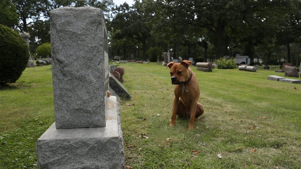 Sad and grieving brown boxer dog looking at owner's gravestone in a cemetery