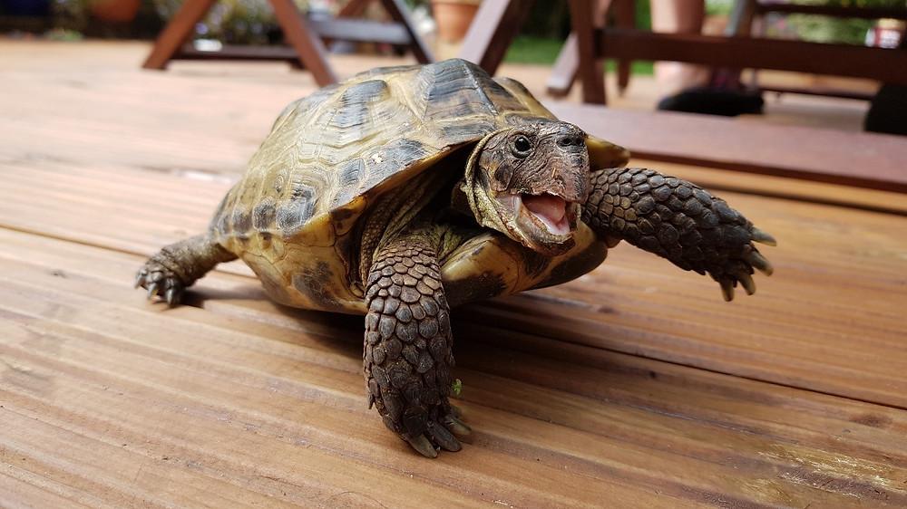 Happy tortoise walking along brown wooden floor decking