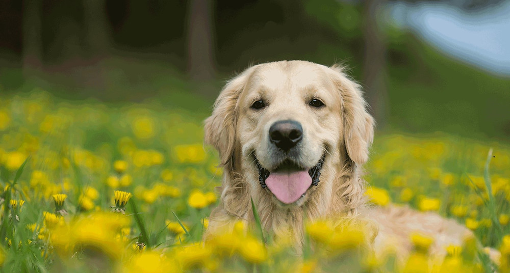 Happy labrador retriever smiling in a field of green grass and yellow daffodils