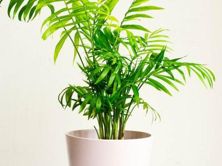 Our Plant Care: Chamaedorea elegans