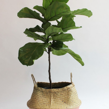 Our Plant Care: Fiddle Leaf Fig