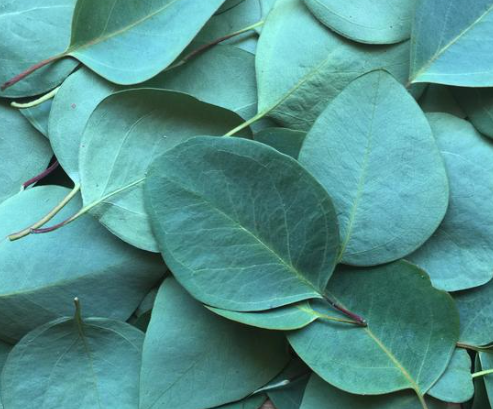 Eucalyptus Globulus {ORGANIC} Essential Oil