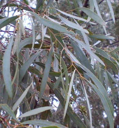 Eucalyptus Blue Mallee {ORGANIC} Essential Oil
