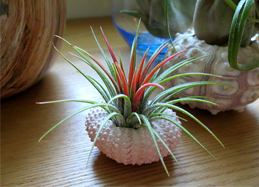 Air plant urchin.png