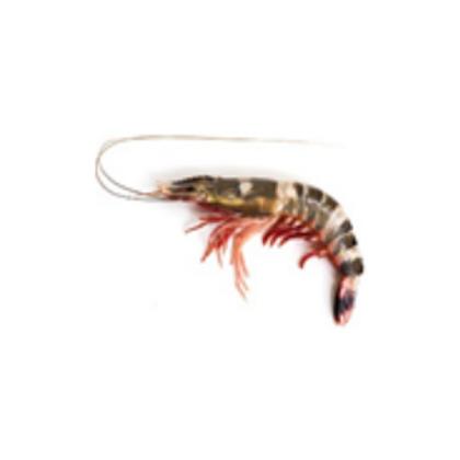Prawns Nine Stripe (Guo Za) Medium 九纹虾