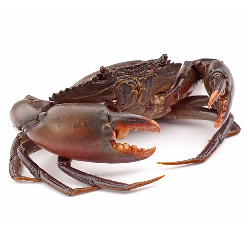 Live Mud Crab for 2 pieces
