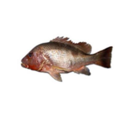 Golden Snapper (Ang Chor) Fillet 红鲷鱼
