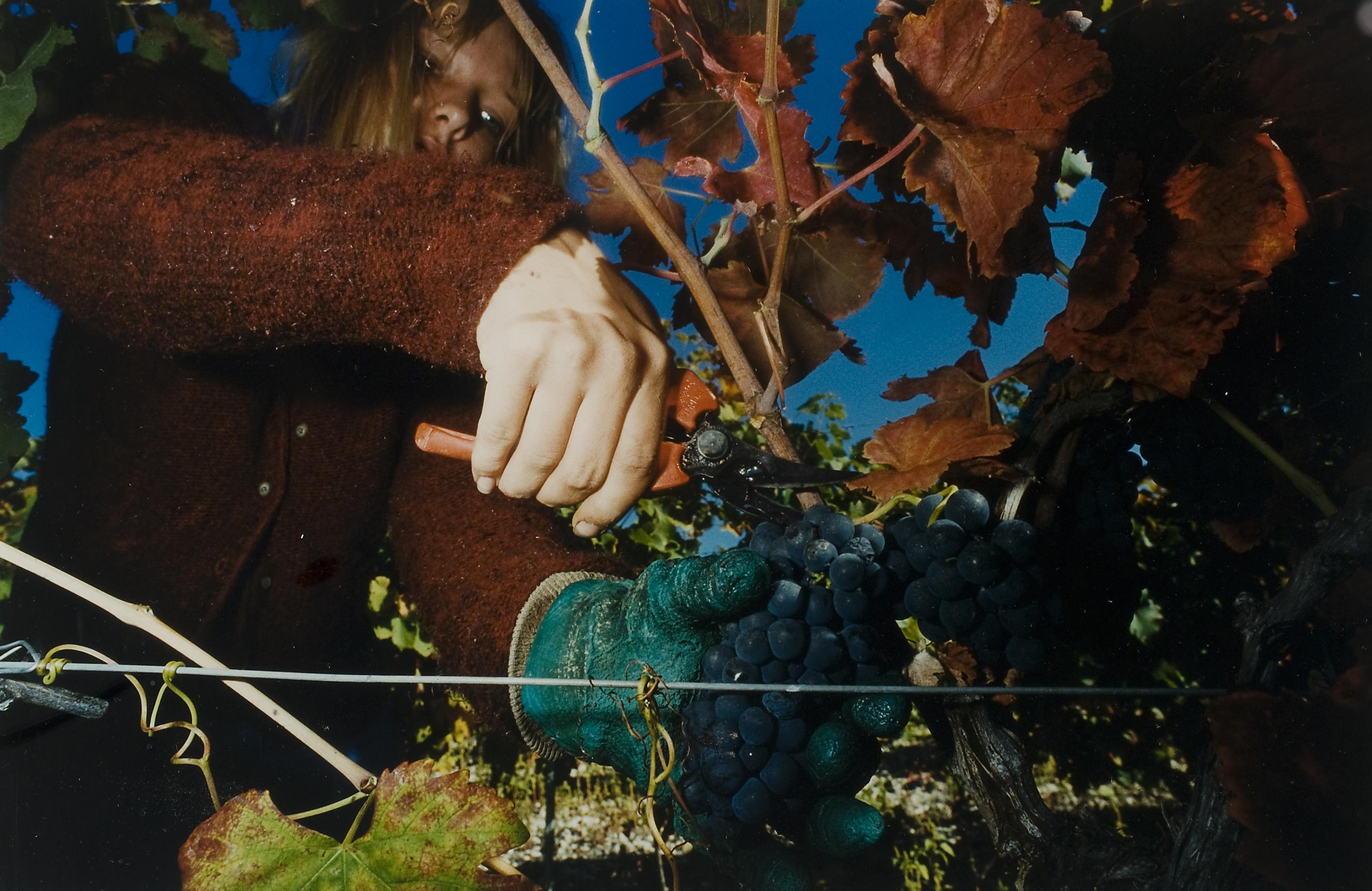 Druivenpluk (3)