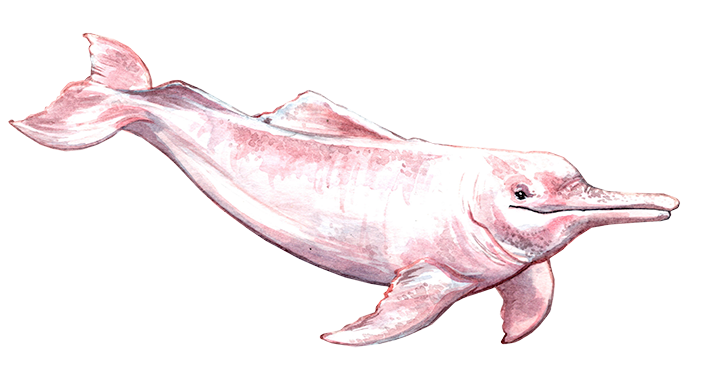 River dolphin.png