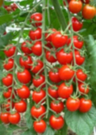 томаты черри.jpg
