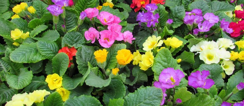 «Дары Вятки» радуют кировчан цветочной рассадой высокого качества