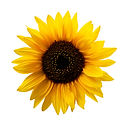Sunflower Isolated.jpg