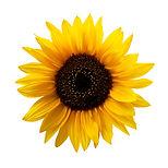 Sunflower Isolated.jpg