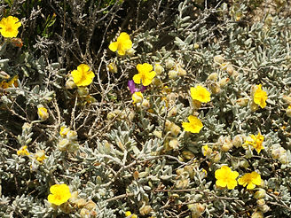 Helianthemum_caput-felis_(plant).jpg