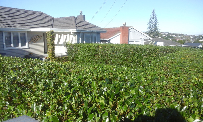 Squared Griselinia hedging