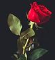 rose rouge 001 - Kopie.PNG