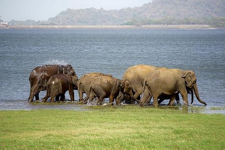 Elephants splashing Water in Sri Lanka