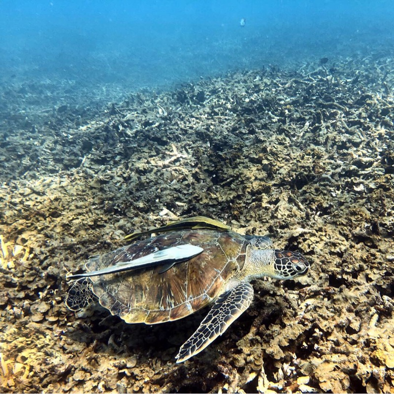 Turtle at Shark Bay Thailand