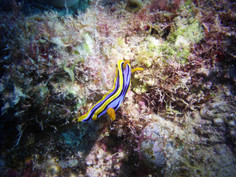 Nudibranch Australia Grat Barrier Reef Seaslugs Like-A.Fish Freediving Blog