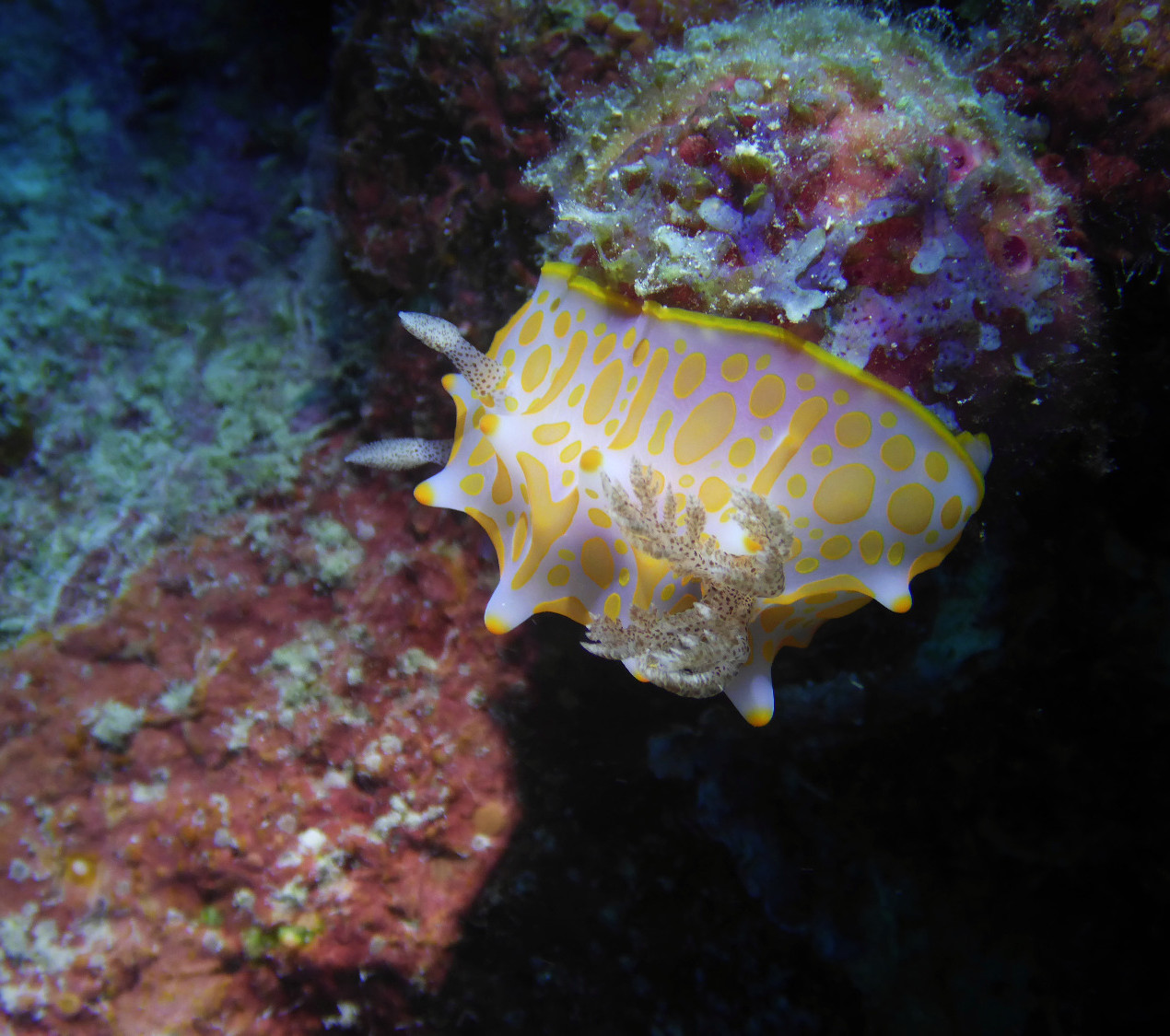Nudibranch Seaslugs Like-A.Fish Freediving Blog