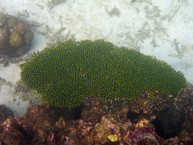 Acropora Hard Coral / Shark Bay Koh Tao Thailand