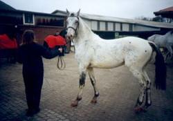Pegasus auf seiner Körung