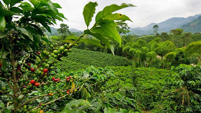 Unroasted Organic Sumatra Mandheling - FAIR TRADE
