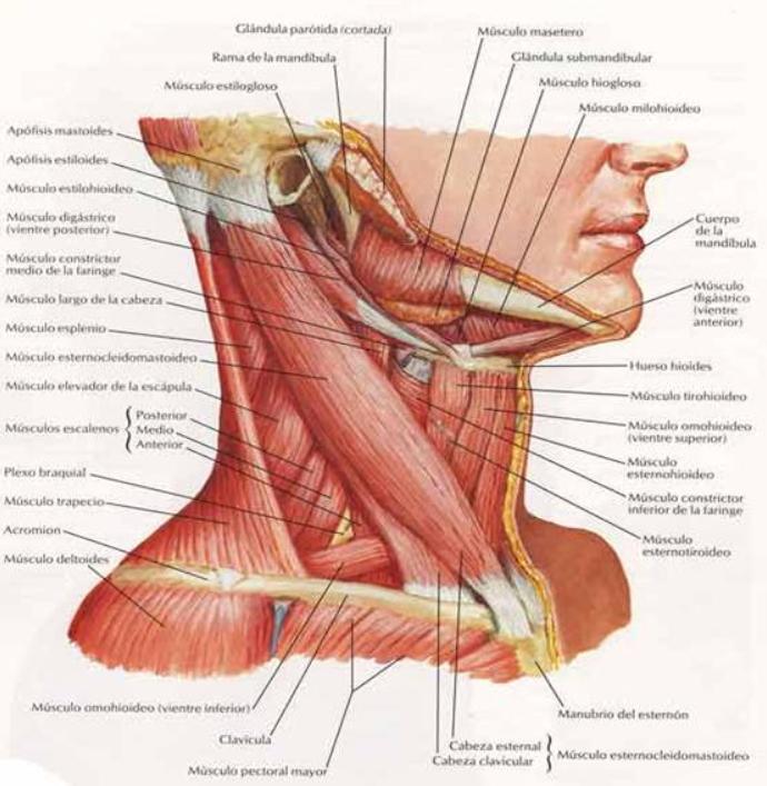 Musculatura del cuello