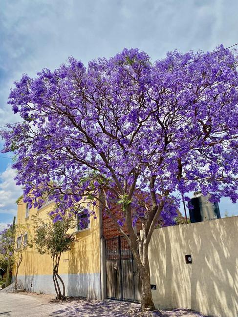 San Miguel Jacaranda Trees.jpg