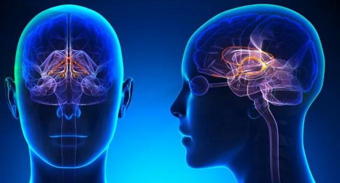 Il sistema limbico del cervello umano
