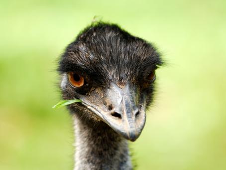 Benefits of Emu Oil