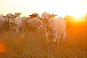 sunrise on cattle