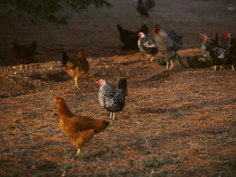 Chickens: Beware of Raptors