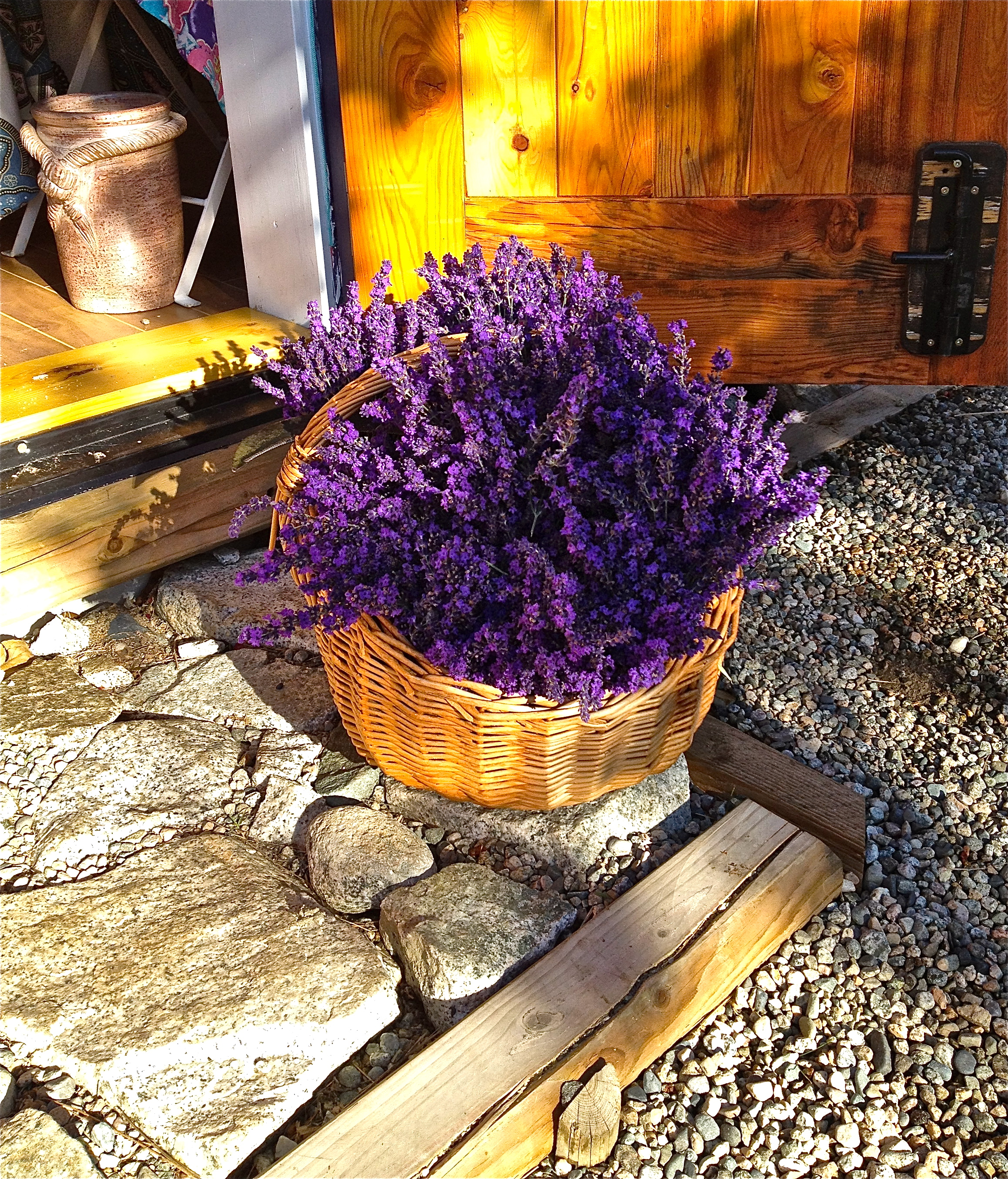 A basket of Royal Velvet Lavender