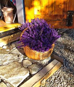 A basket of Royal Velvet Lavender