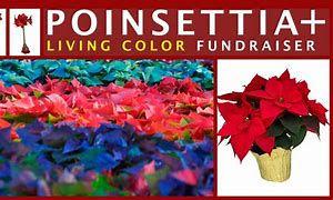 Poinsettia.jfif