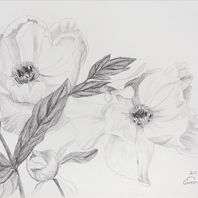모란 (Paeonia) 42.5x32cm, pencil on paper,2018